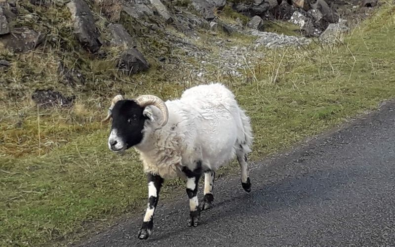 Sheep or sheep running on the road