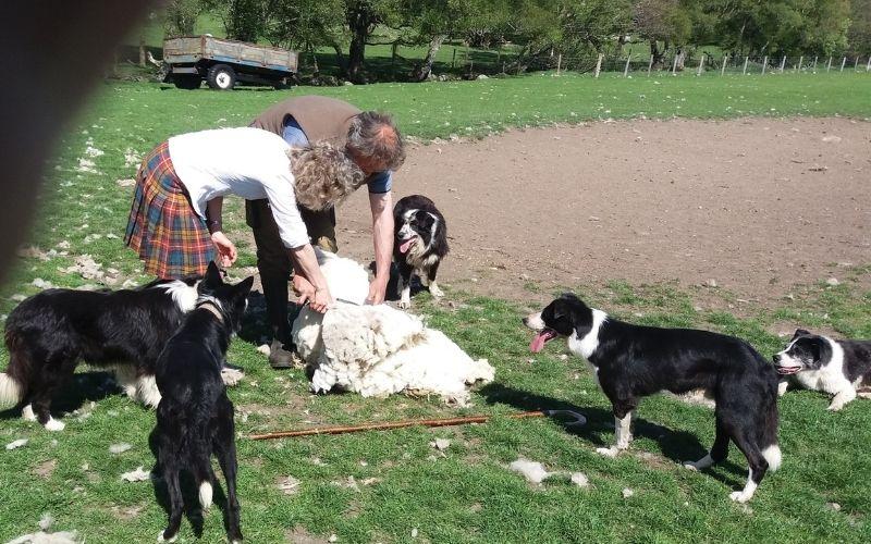 Sheep shearing with sheep dogs
